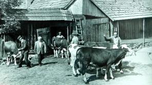 Svoz dobytka ze soukromého statku v Dolní Dobrouči do kravína v JZD asi v roce 1960. Foto Petr Špindler