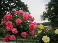 Pohled na květy růží v Růžovém sadu (r. 2015)