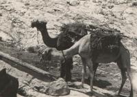 Velbloudi nomádů