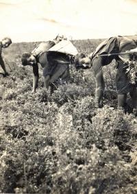 Trhání bodláků, sestry Stroblovy (1. pol. 40. let 20. století)