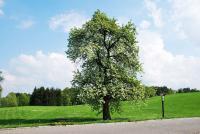 Památná hrušeň. Jediný strom, který přežil nacistické řádění (zdroj: Klára Kučerová)