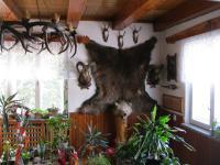 Medvěd, kterého Josef Hiemer ulovil na Slovensku