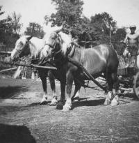 """Koně """"fuksy"""" na dvoře v Úboči, 1942"""