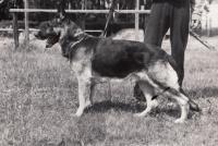 Pes Dux, Starý Plzenec 1984