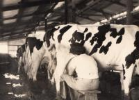 Working in kibbutz cow farm