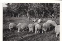 Mastířovice, Jan Princ pase ovce