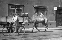 Josef Svoboda / left on the car body / as an employee of the Brno ZOO assists in the transport of a camel from the railway station in Brno