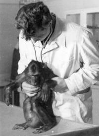 Josef Svoboda as animal nurse in Brno zoo with Tibetan macaque named Dare