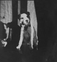 The dog of Adéla Hartmannová, whom she received from Jan Masaryk
