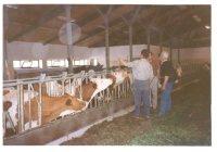 Krávy v břežanském statku
